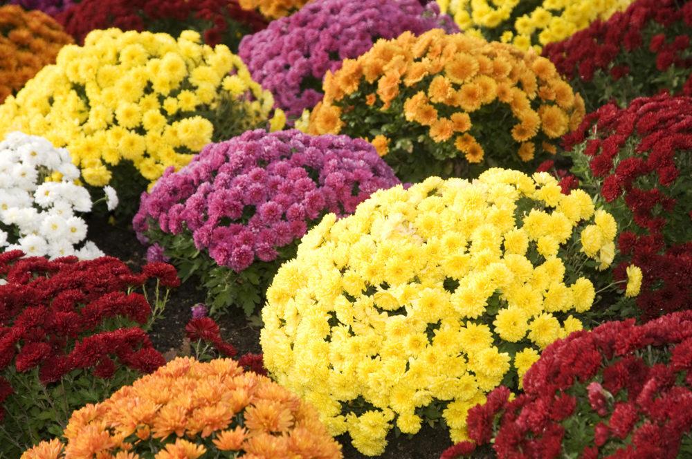 fleurs chrysanthèmes bouquets fleuris